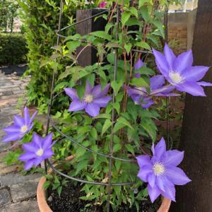 庭が花で賑やかになってきました♪蝶も来ています♪&シニアのワンコに刺激を・・・