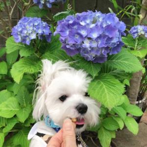 フェイジョアの花が咲きました♪&アジサイとムク。