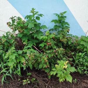 ラズベリーの初収穫