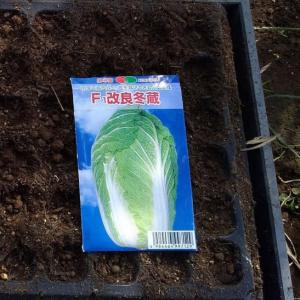 白菜の植付2(F1冬蔵)