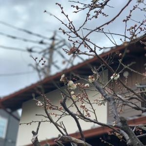 梅の花が咲いてます