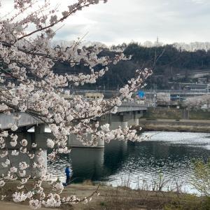 桂川の桜 見頃です