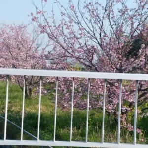 八重桜キタ━━━━(゚∀゚)━━━━!!