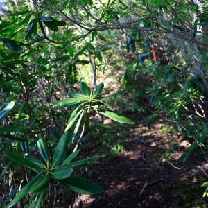 八ヶ岳のシャクナゲ尾根 にゅう登山 シャクナゲと苔の北八ヶ岳の森