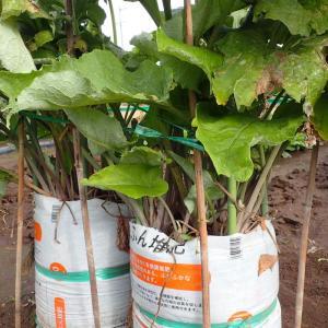 袋栽培のゴボーを収穫