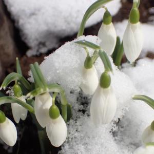 春を告げるスノードロップ
