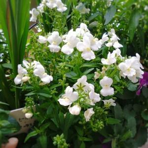 ベランダ花時間と切り花を最後まで楽しむ