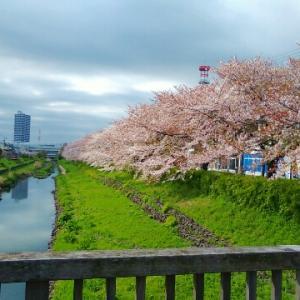 2020桜 お家でも桜を楽しむ