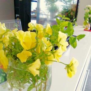 最後のビオラとペンタス開花