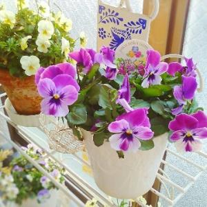 もうかざめの塩麹焼き弁当と紫色のお花