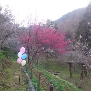 2月8日みろく公園 梅の花(*^_^*)