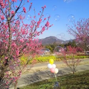 2月11日まんのう公園 梅(*^_^*)