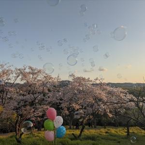 4月5日 夕やけ桜・・公渕公園
