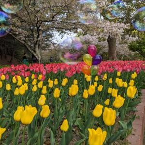 4月11日公渕公園 チューリップ&桜