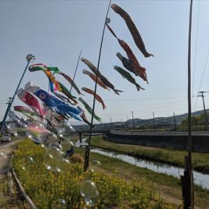 5月1日 春日川 鯉のぼり