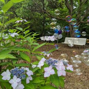 6月6日公渕公園(*^_^*)ガクアジサイと白いベンチと・・・