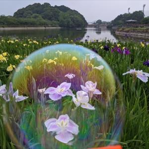 6月6日 亀鶴公園 花菖蒲