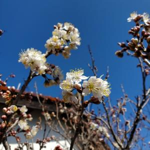 さくらんぼの開花と種まき