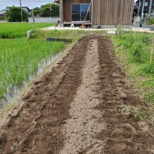 青大豆の種まき