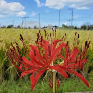 自然栽培イセヒカリの稲刈り