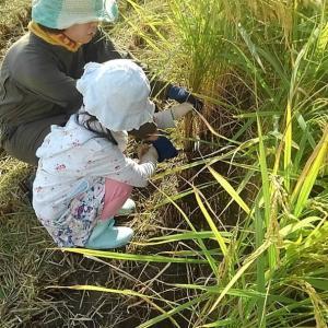 保育園児の稲刈り体験 日程変更に