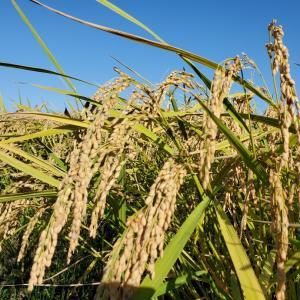 自然栽培コシヒカリの稲刈りなど