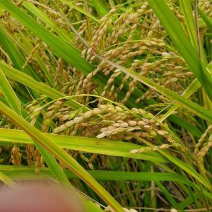 稲刈り一日延期