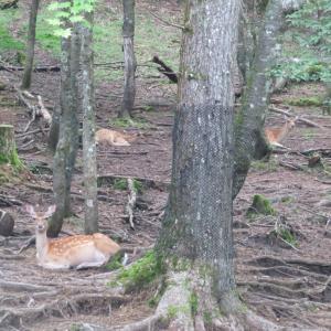 5ヶ月振りのリハビリは笠取山となぜか御座山・2:鹿さんお寛ぎ中のご様子