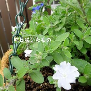 アメリカンブルーの白花品種「エボルブルス サマースノー」の花が咲きました