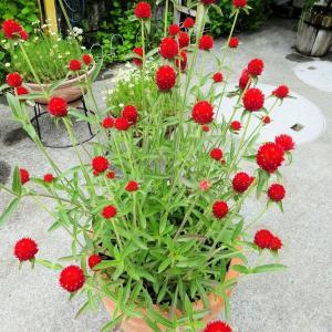 千日紅をお盆の仏花に使いたかった・・・