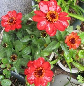 我が庭の花々