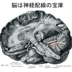 脳は神経細胞の宝庫、縦横矛盾につながっている