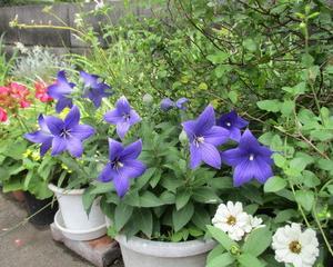 庭の花・桔梗