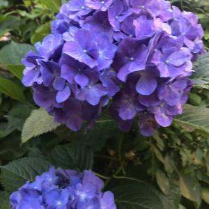 紫陽花の想い