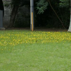 ステルンベルギアの花