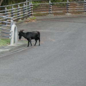 ヤギ 夜明け道路の隙間に逃げる