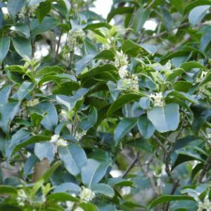 シマモクセイの花