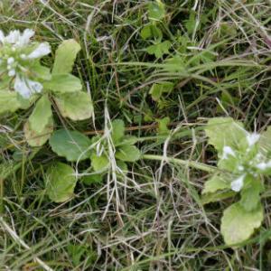 シマカコソウの花