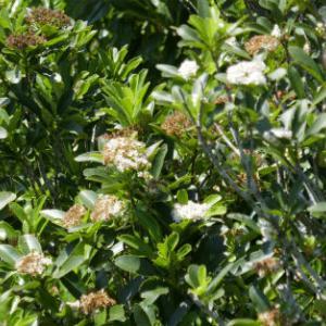 シマカナメモチの花
