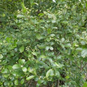 ヒメマサキの花
