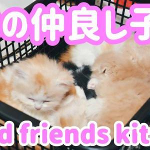 猫の赤ちゃん産まれました。スコティッシュフォールド子猫ブリーダー販売ペットショップ業許可 大阪