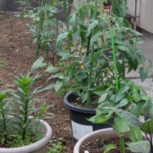 今年も夏野菜を植えました