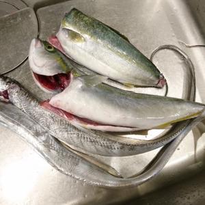 釣果料理☆タチウオ、ハマチ、アオリイカ(*´∀`)♪