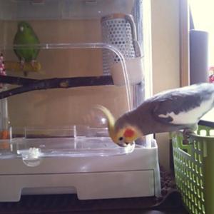 おじゃま鳥