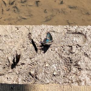 「中央線130周年」とのコラボレーション〜トレニアート 中央線開業130周年記念ノート(ロルバーン)〜 & つがいの美しい蝶