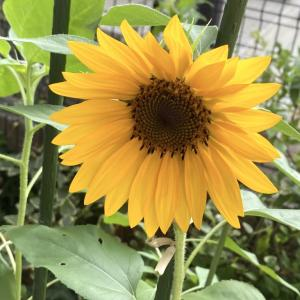 「完全オフディ」と「ど根性ひまわり開花」でスタートの8月〜19日目〜
