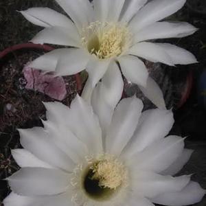 裏庭にサボテンが咲きました。「寒露」の俳句。