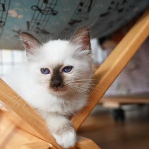 バーマン仔猫♪お問い合せ待ってますね♪