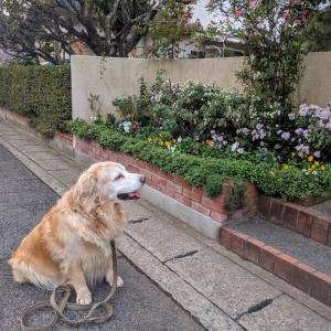 玄関前花壇で小菊が咲いています