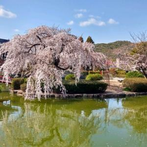 吉備津神社の桜です
